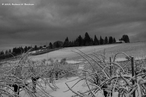 Snow in the vineyard