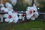 The almond treeblooms