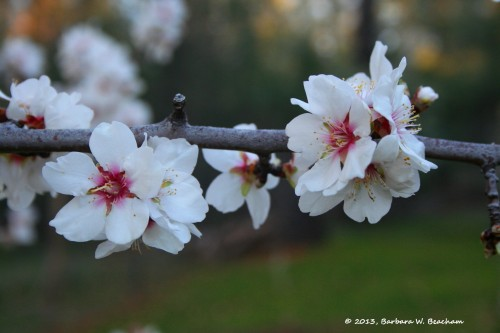 The almond tree blooms