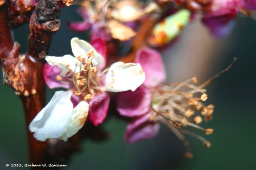 The apricot is setting fruit