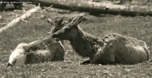 The elk is speaking