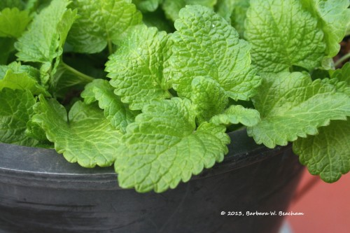 The smell of lemon balm fills the air!