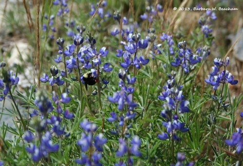A bumble bee visits the lupine