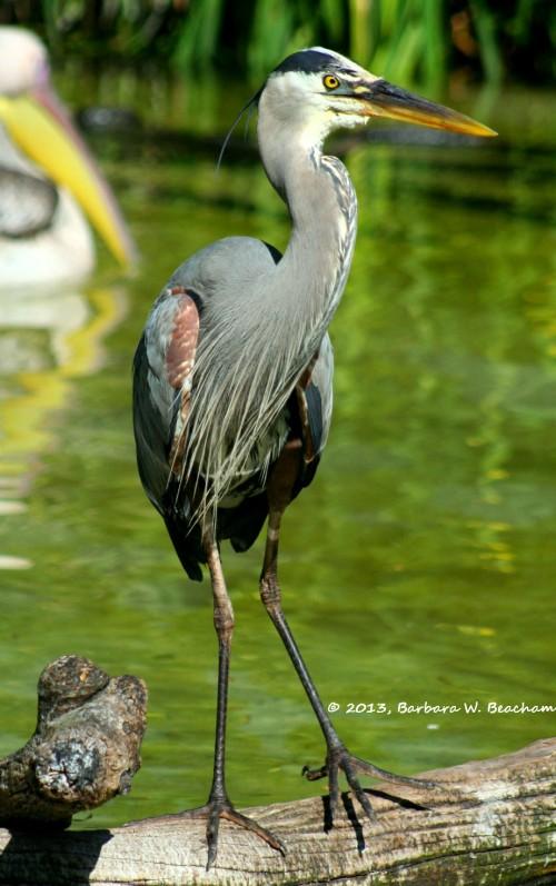 A gray heron