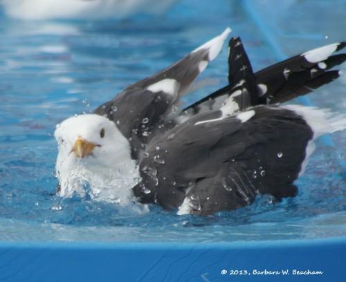 A gull taking a bath on a Carnival Cruise