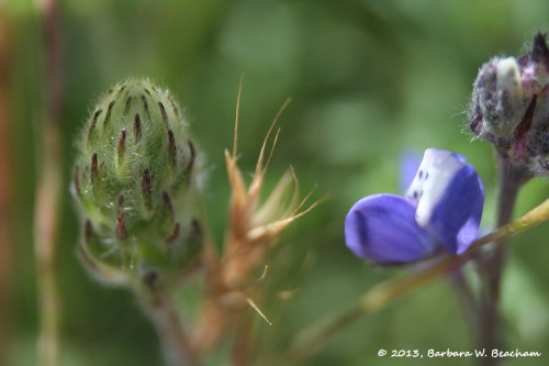 A lupine blossom before opening