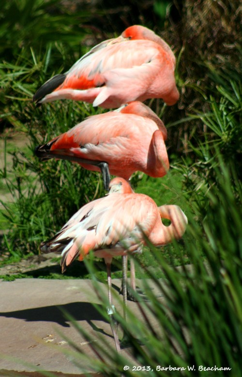 A trio of flamingos sleeping