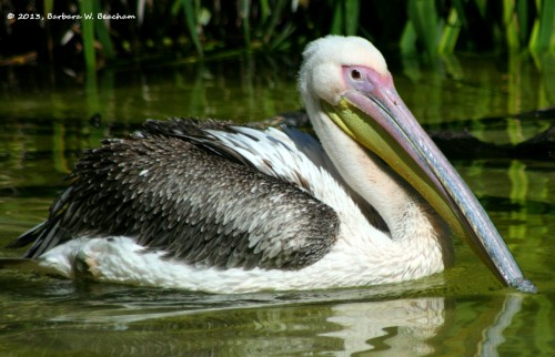 A white pelican loaded with color