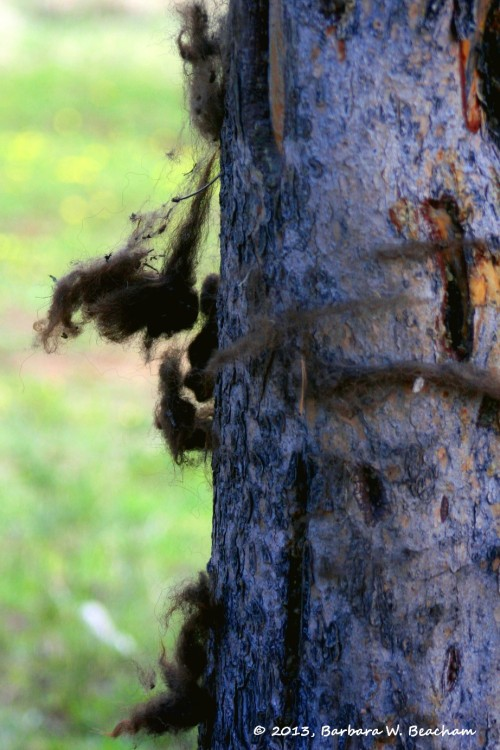 Buffalo hair stuck to a tree