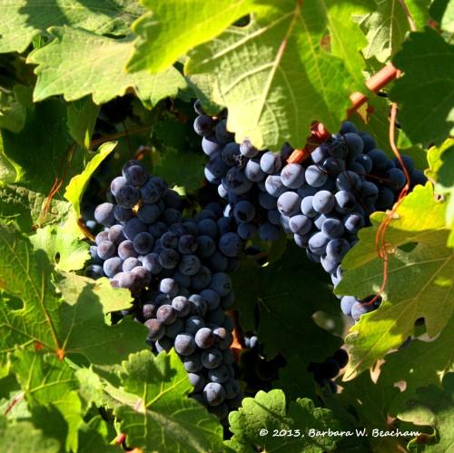 Cabernet on the vine