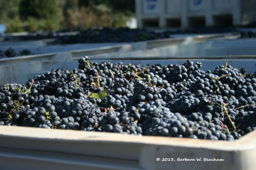 Cabernet waiting to be crushed
