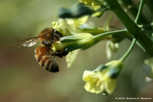 Capturing a bee in broccoli