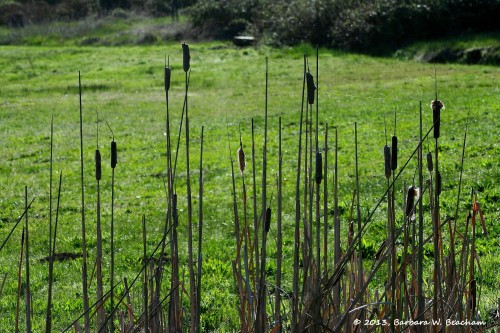 Last year's cattails