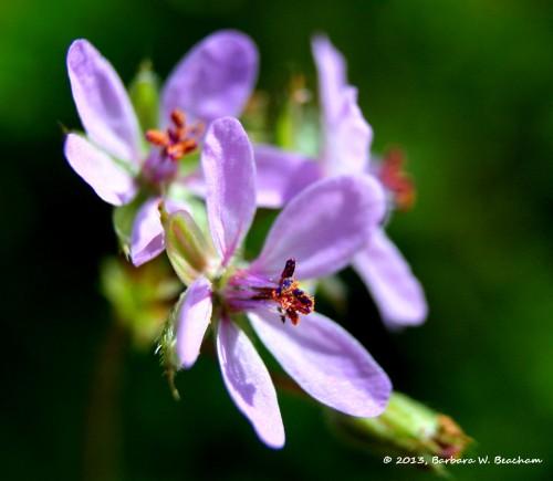 Lavender Weedicus