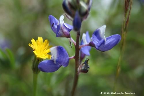 Lupine and false dandelion
