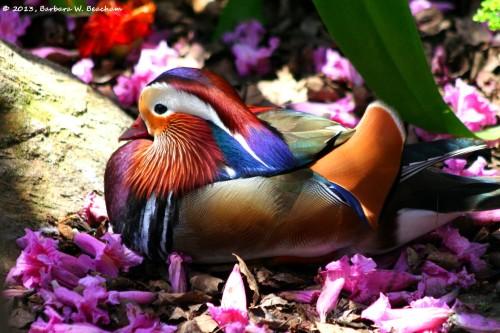 Mandarin duck taking a break from swimming
