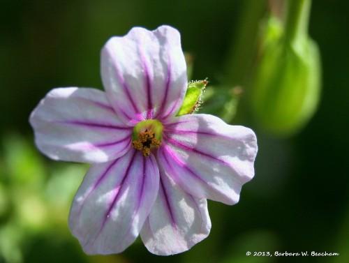 Purple Striped Weedicus