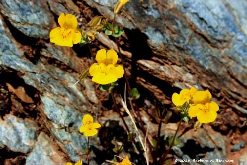 Seep Spring Monkey Flower
