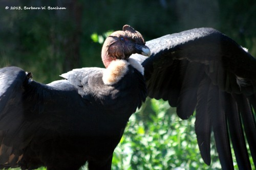 The condor spreads its wings