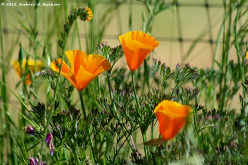 The Glory of the California Poppy