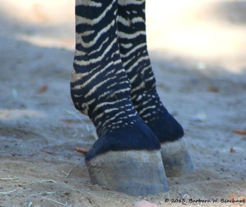 The Zebra!