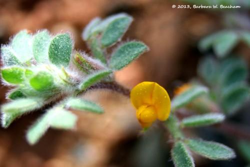 Yellow Weedicus