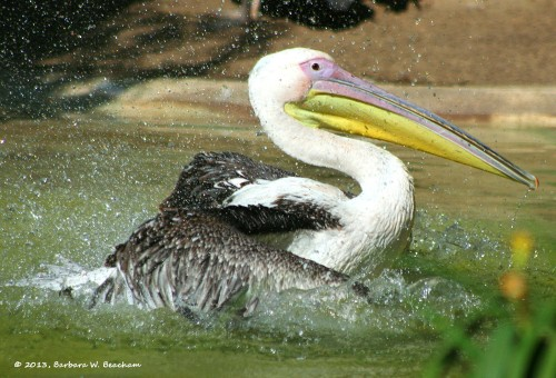 Bathing White Pelican