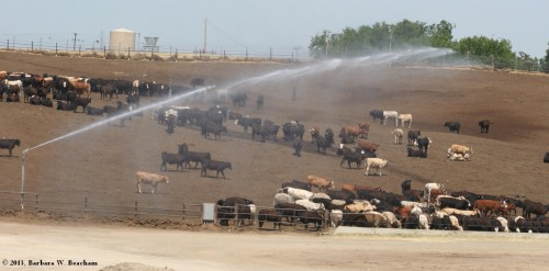 Cooling down the cows