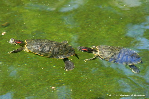 Swimming turtles