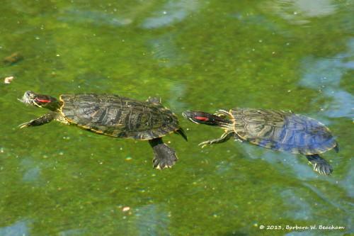 Swimming turtles