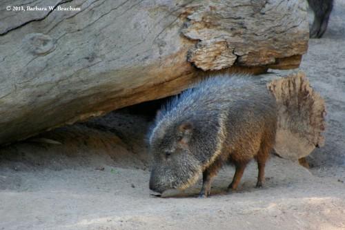 The Wild Boar!