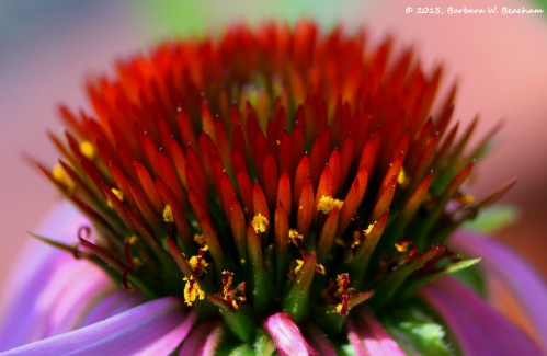 A burst of color in the echinacea