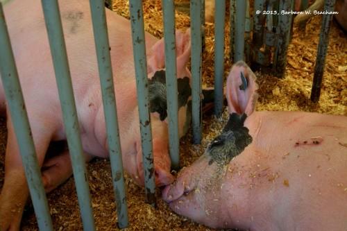 Companion Pigs