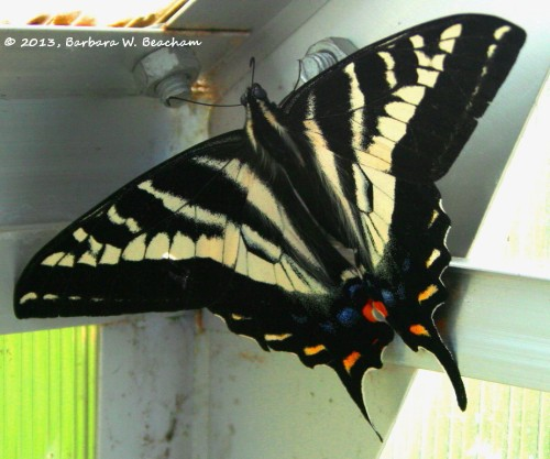 A White Swallowtail Butterfly