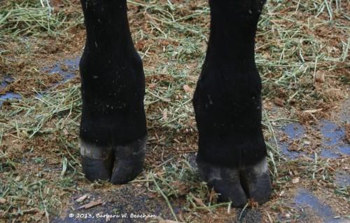 Black bovine feet
