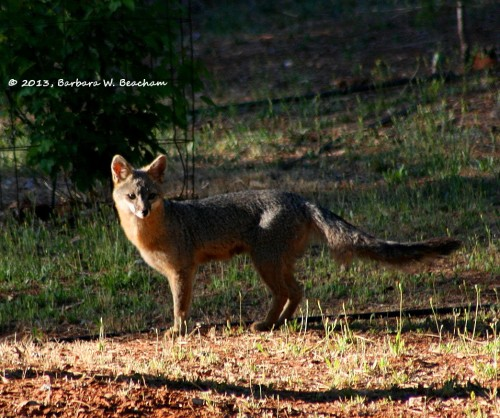 Fox face returns!