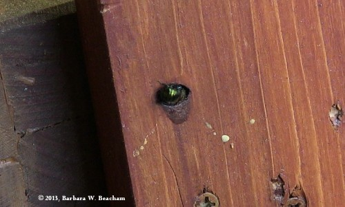 A black bee