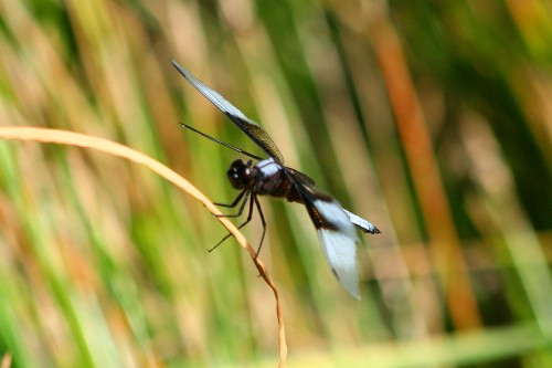 A side view of the Widow Skimmer