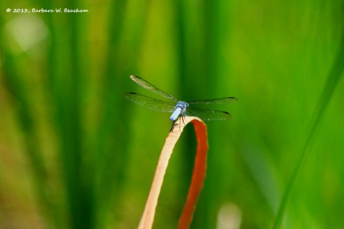 Blue Dasher Dragonfly from behind