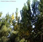 Poplars going gold!