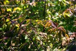 Spirea are starting to changecolor