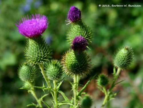 The beauty of thistle
