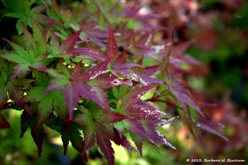 The Chinese Maples are turning color