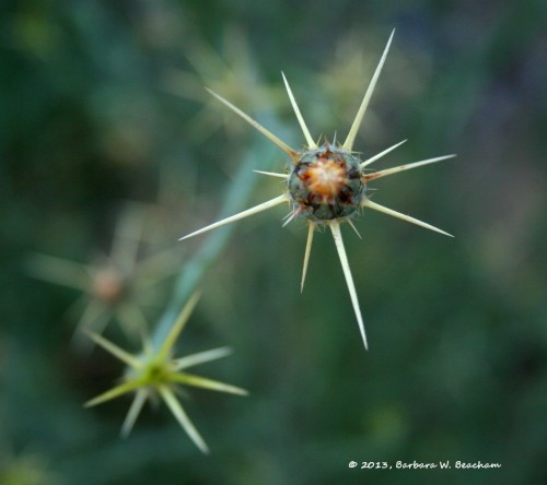The Star Thistle