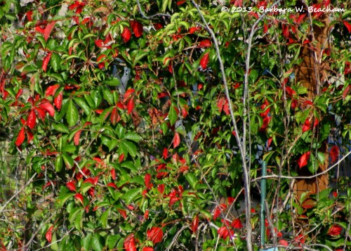 The Virginia creepers are turning red