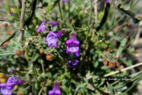 A native penstemon