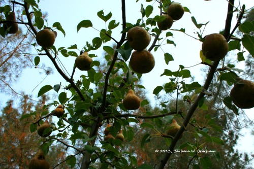 Pears hanging off the tree