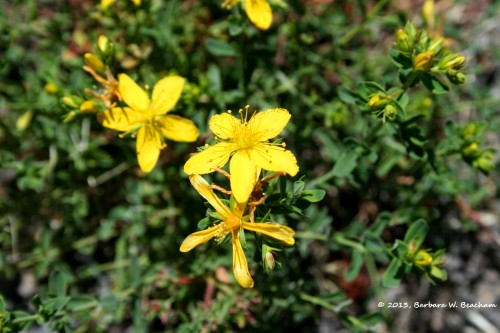 Resembles St. Johns Wort
