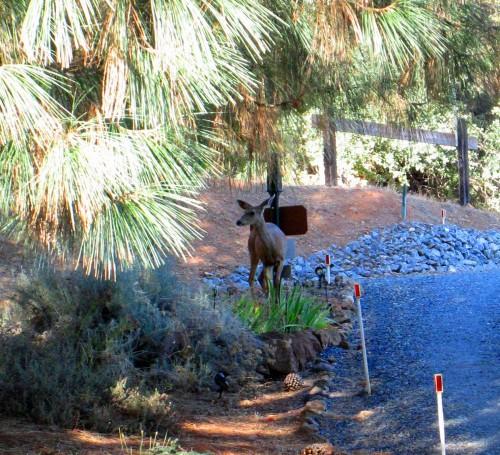 A deer in the yard