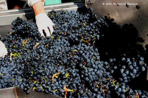 Hand sorting the Primitivo